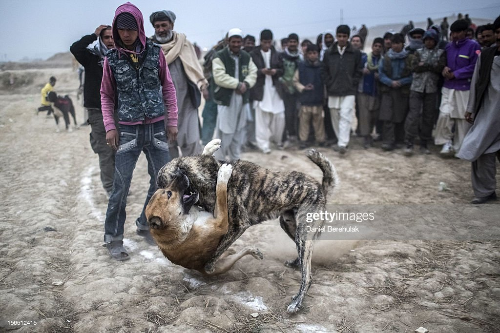 Afghan spectators watch as two fighting mastiff dogs attack each other during the weekly dog fights on November 16, 2012 in Kabul, Afghanistan. Dog fighting was banned under the Taliban for being un-Islamic but it is now common practice.