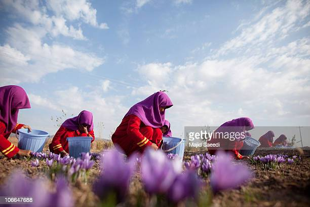 Afghan workers pluck saffron flowers on a farm on November 09 2010 in Herat Afghanistan Around 2500 farmers in eight provinces are working on saffron...