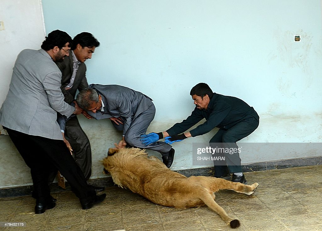 Afghan zookeeper Qurban Ali (R) attempts to intervene as Marjan a lion (C) plays at his cage in Kabul's zoo, in Kabul on March 18, 2014. Kabul zoo unveiled its new star attraction -- Marjan the lion, who lived on a private rooftop in the city until rescued by animal welfare officials last year when close to death. A businessman in the war-torn Afghan capital kept the lion on the roof of his house as a status symbol after buying him for USD 20,000. The lion was rescued in October and has recovered his health after expert care. Marjan is named a half-blind lion who lived at the zoo and became a symbol of national survival after living through coups, invasions, civil war and the hardline Taliban era before dying in 2002. AFP PHOTO/SHAH Marai