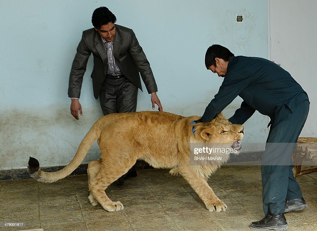 Afghan zookeeper Qurban Ali (R), 40, plays with male lion Marjan at Kabul Zoo in Kabul on March 18, 2014. Staff at Kabul Zoo unveiled its new star attraction Marjan the lion, who lived on a private rooftop in the city until being rescued by animal welfare officials in October 2013 from a businessman who reportedly paid $20,000 for the animal. Marjan is named after a half-blind lion who lived at Kabul Zoo and became a symbol of national survival after living through coups, invasions, civil war and the hardline Taliban era before dying in 2002. AFP PHOTO/SHAH Marai