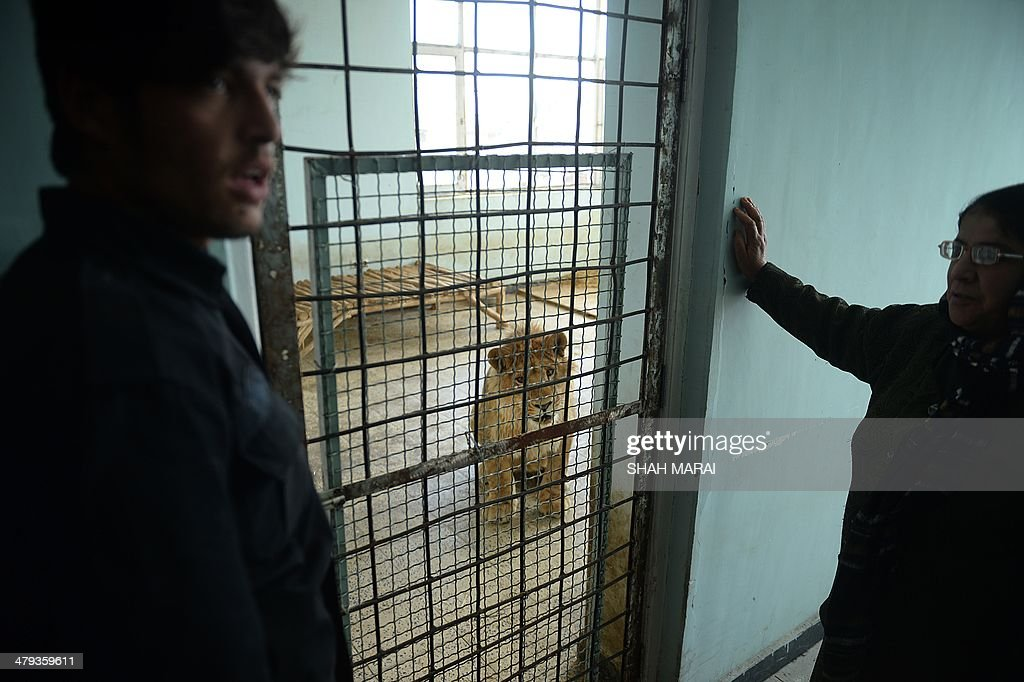 Afghan zookeepers look on as male lion Marjan looks out from his cage at Kabul Zoo in Kabul on March 18, 2014. Staff at Kabul Zoo unveiled its new star attraction Marjan the lion, who lived on a private rooftop in the city until being rescued by animal welfare officials in October 2013 from a businessman who reportedly paid $20,000 for the animal. Marjan is named after a half-blind lion who lived at Kabul Zoo and became a symbol of national survival after living through coups, invasions, civil war and the hardline Taliban era before dying in 2002. AFP PHOTO/SHAH Marai
