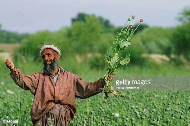 Afghanistan Farmers Harvest Healthy Crop Of Poppies