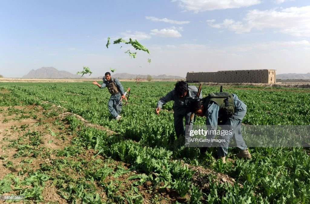 Afghanistan policemen destroy a poppy field in the Panjwai district of Kandahar province on March 17, 2013. Poppy cultivation is expected to increase in both eastern and western provinces of the country, though will remain at a much lower level of cultivation as compared to Helmand and Kandahar provinces, the United Nations office on Drugs and Crimes (UNODC) said in its 2012 report. AFP PHOTO/Jangir