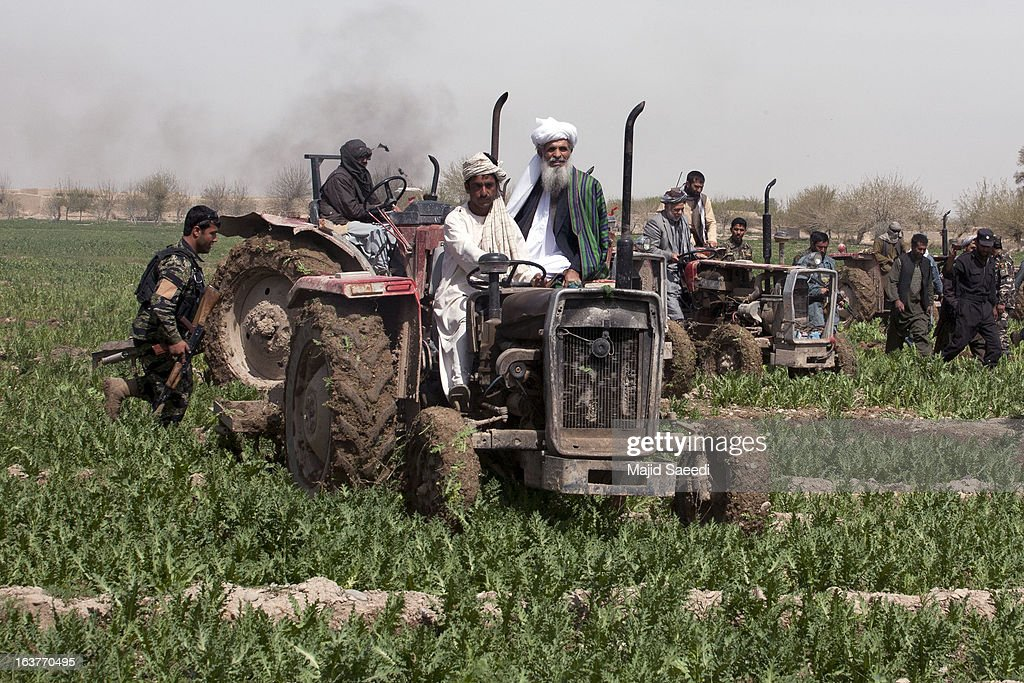 Afghans drive tractors over a field of opium plants as they tackle the crop on a farm on March 14, 2013, in Babaji village-Helmand Province ,south east Afghanistan. Most of the opium is chemically processed to produce herion, which ends up heading to either Iran, Russia and/or Europe. According to United Nations report, in 2012 there was an increase of 18 percent in cultivation of opium in Afghanistan; the world's largest source of the crop.
