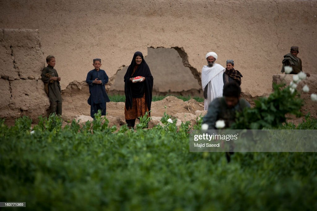 Afghans wathc as policemen uproot opium plants as they destroy the crop, on a farm on March 14, 2013, in Babaji village-Helmand Province ,south east Afghanistan. Most of the opium is chemically processed to produce herion, which ends up heading to either Iran, Russia and/or Europe. According to United Nations report, in 2012 there was an increase of 18 percent in cultivation of opium in Afghanistan; the world's largest source of the crop.