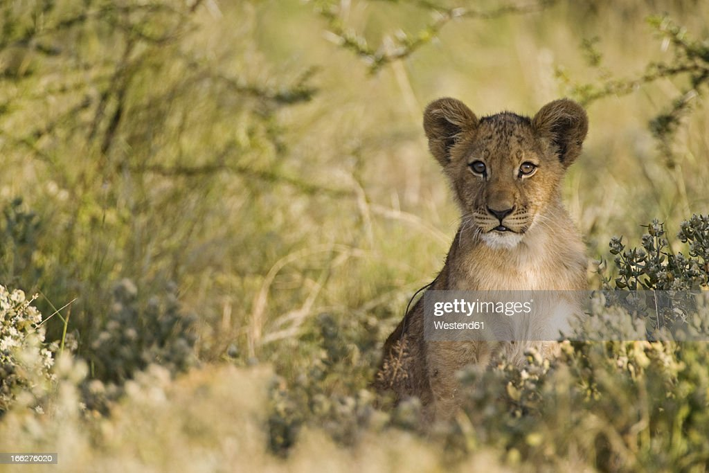 Africa, Botswana, African Lion cub (Panthera Leo) : Stock Photo