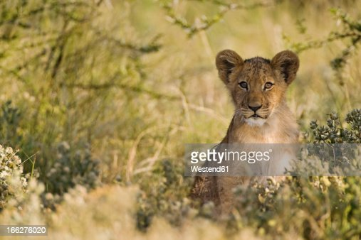 Africa, Botswana, African Lion cub (Panthera Leo) : Stock Photo