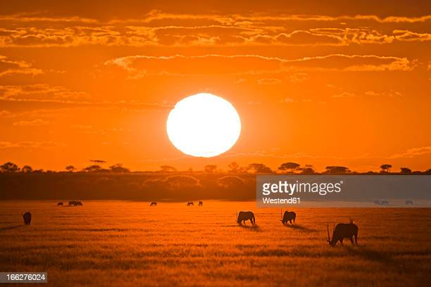 Africa, Botswana, Silhouette of gemsbok herd (Oryx gazelle) at sunset