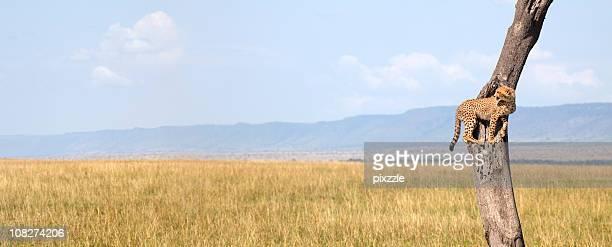 Africa Cheetah in a Safari Tree Panorama