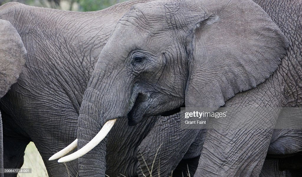 Africa, Kenya, Maasai Mara, elephant, close-up, side view : Stock Photo