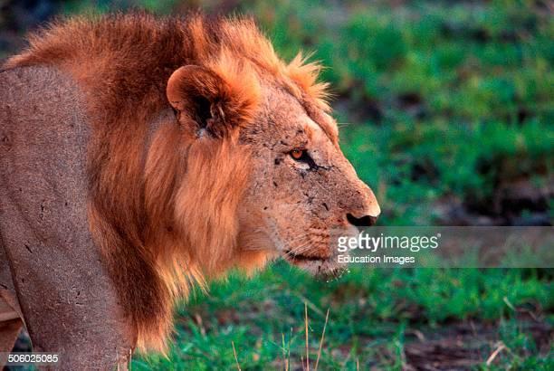 Africa Kenya Safari in The Tsavo Park Lion