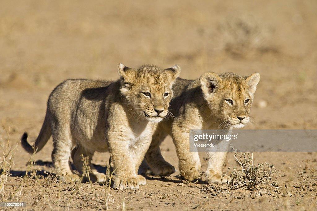Africa, Namibia, African Lion cubs (Panthera Leo) : Stock Photo