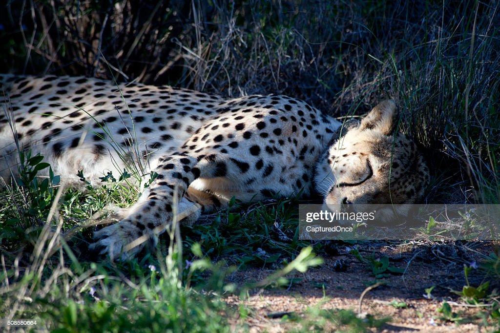Africa Namibia Cheetah : Stock Photo