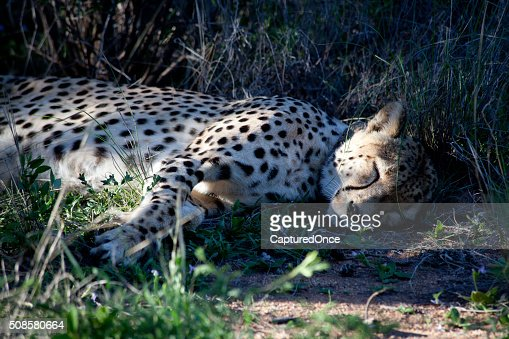 Africa Namibia Cheetah : Stock Photo