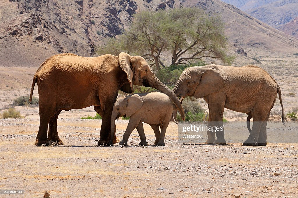 Africa, Namibia, Kaokoland, cow, calf and young bull of African elephants, Loxodonta africana, at Hoanib River