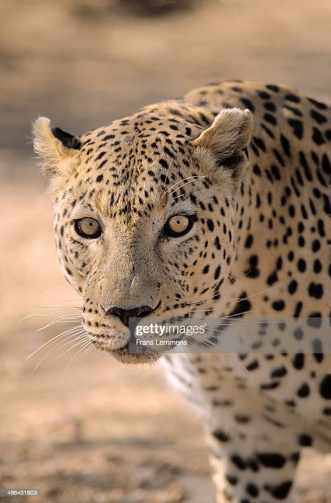 Africa, Namibia, leopard