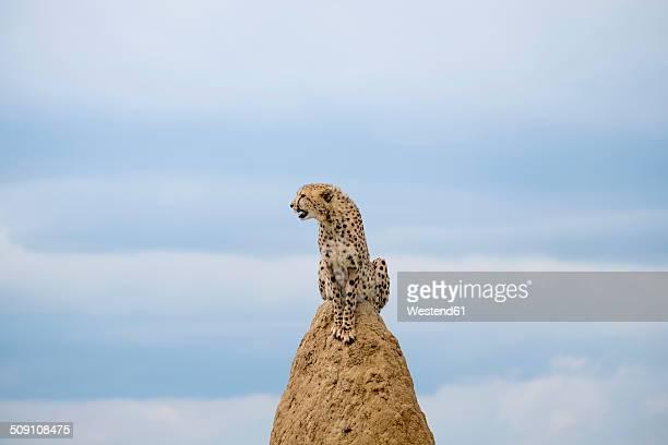Africa, Namibia, Okonjima Nature Reserve, Cheetah, Acinonyx Jubatus, sitting on termite hill