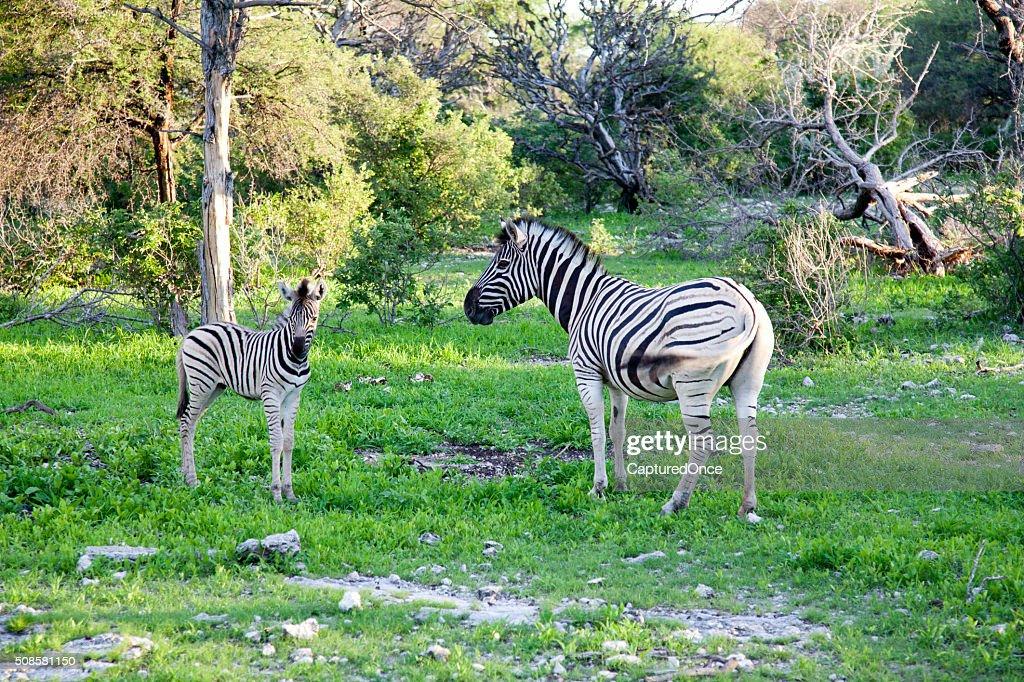 Africa, Namibia, Zebra, Etosha National park : Stock Photo