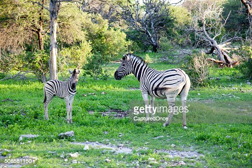 Africa, Namibia, Zebra, Etosha National park : Stock Photo