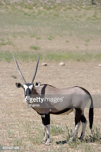 Africa, Southern Africa, South Africa, Kgalagadi Transfrontier Park, View Of Gemsbok (2009)