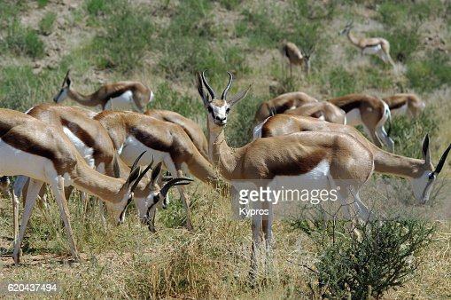Africa, Southern Africa, South Africa, Kgalagadi Transfrontier Park, View Of Springbok (2009)