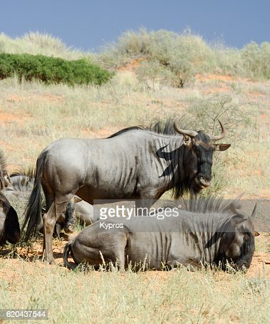 Africa, Southern Africa, South Africa, Kgalagadi Transfrontier Park, View Of Wildebeest (2009)