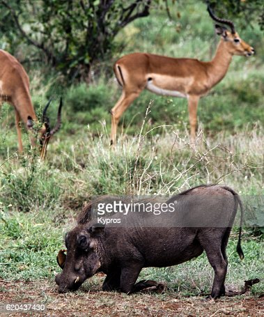 Africa, Southern Africa, South Africa, Kruger National Park, View Of Warthog Kneeling. Bird On It's Head Is A Red-billed Oxpecker Feeding On Ticks. Male Impala With Lyre-Shaped Horns In Background (Year 2000)