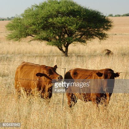 Africa, Southern Africa, South Africa, View Of African Cattle (2009)