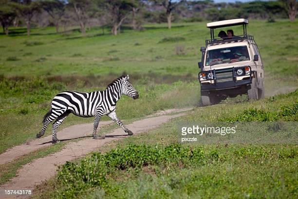 Africa Zebra Crossing by Safari Vehicle