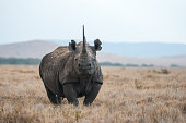 A critically endangered African black rhino in the wild.