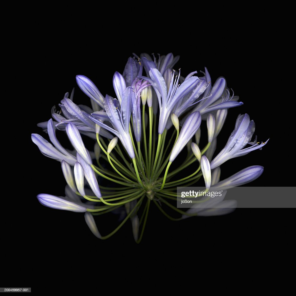 African blue lily (Agapanthus Campanulatus), close-up