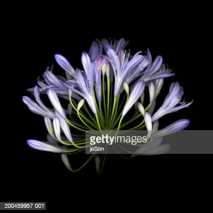 African blue lily (Agapanthus Campanulatus), close-up : Stock Photo
