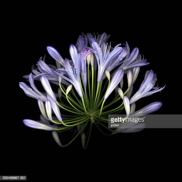 African blue lily (Agapanthus Campanulatus), close-up