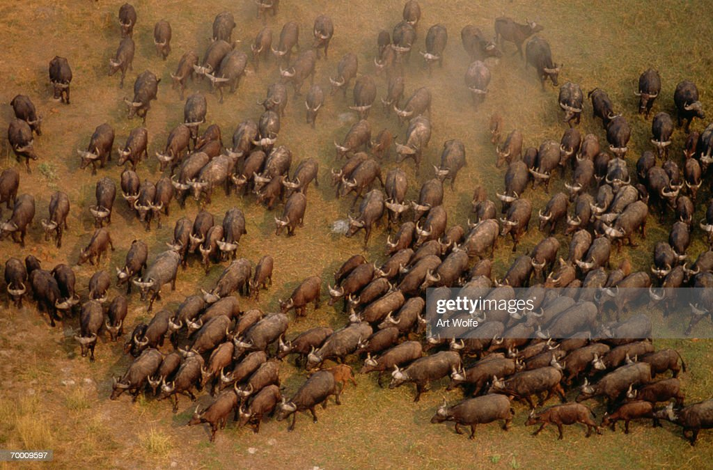 African buffalo (Syncerus caffer), aerial view, South Africa : Stock Photo