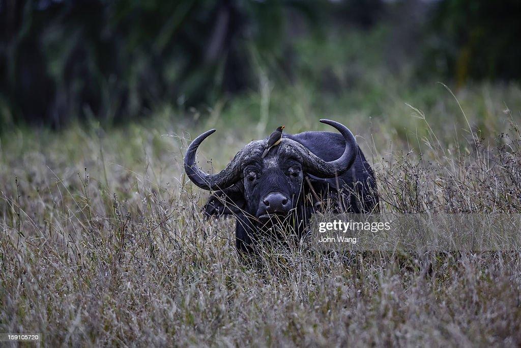 African buffalo at Serengeti National Park : Stock Photo