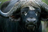 African Buffalo close up of head Kruger National Park South Africa