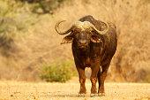 African buffalo, Syncerus caffer, portrait