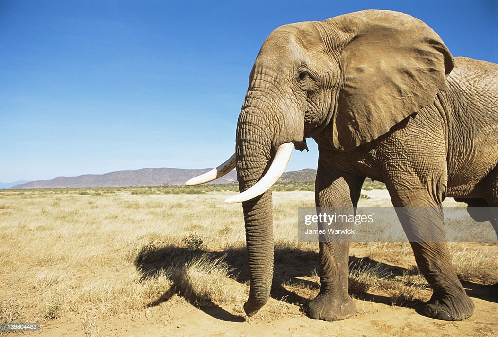 African bull elephant encounter at dawn : Stock Photo