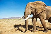 African bull elephant encounter at dawn