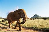 African bull elephant walking at dawn