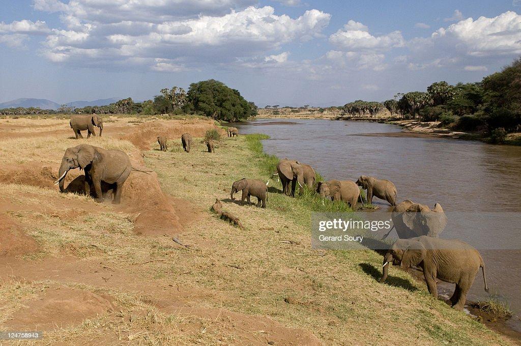African bush Elephant (Loxodonta Africana) at river, Samburu, Kenya, Africa : Stock Photo