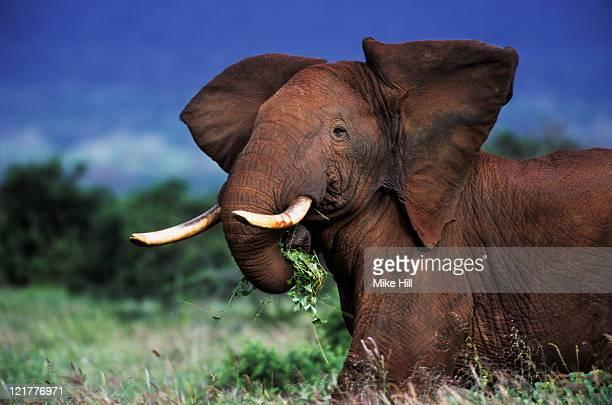 African Bush Elephant (Loxodonta africana) eating plants, Tsavo, Kenya