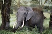 African bush elephant Elephantidae Ngorongoro Conservation Area Tanzania