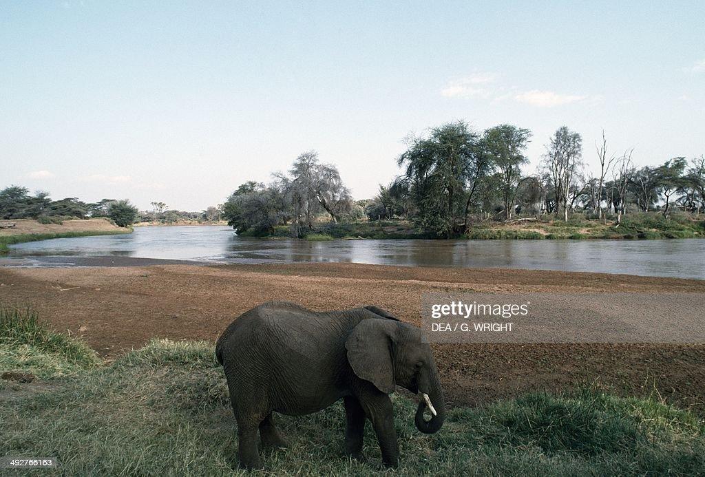 African bush elephant Elephantidae Samburu National Reserve Kenya