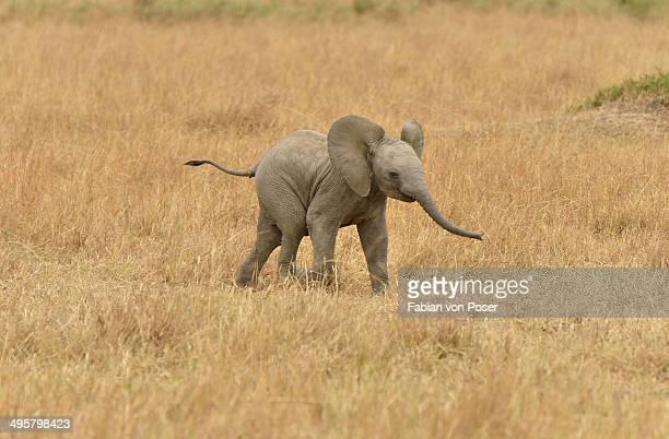 African Bush Elephant -Loxodonta africana-, calf, Massai Mara, Rift Valley Province, Kenya