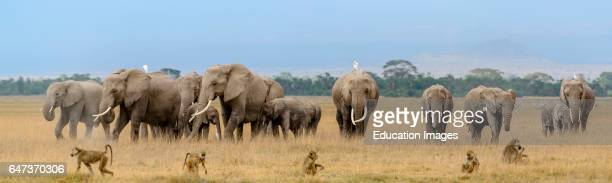 African bush elephant Loxodonta Africana herd and Olive baboon or Anubis baboon Papio anubis Amboseli National Park Kenya