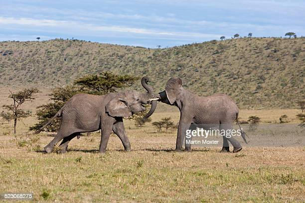 African Bush Elephant -Loxodonta africana-, two young bulls fighting each other, Masai Mara National Reserve, Kenya, East Africa, Africa, PublicGround