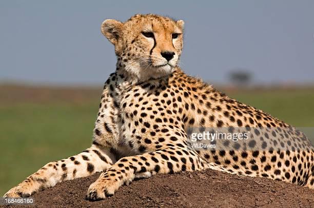アフリカのチーター