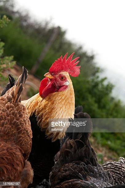 Pollo africana