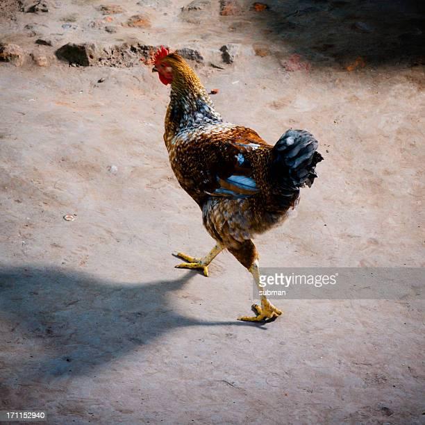 Afrikanischer Huhn Spaziergänge in